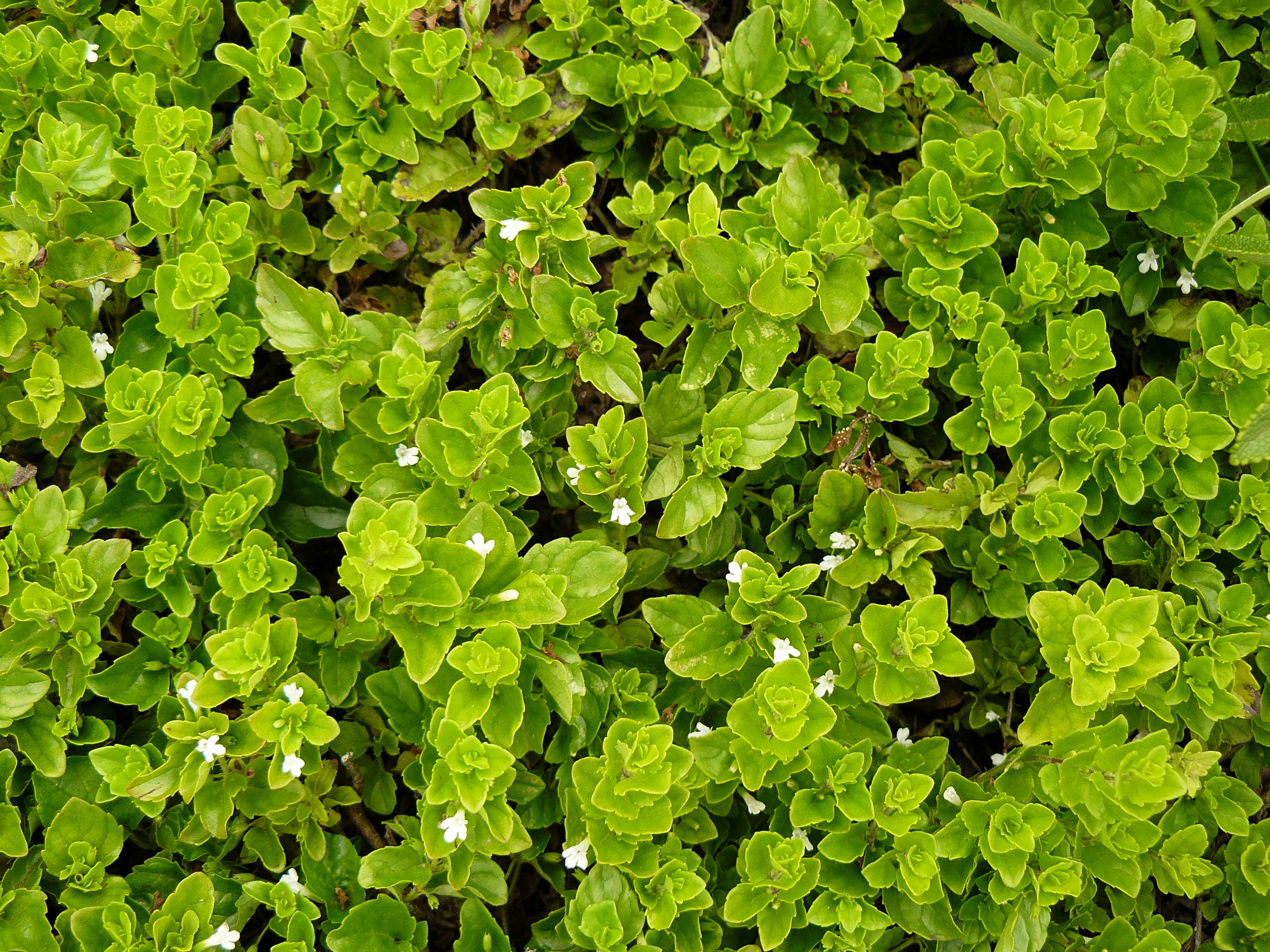 Clinopodium Douglasii Wikipedia