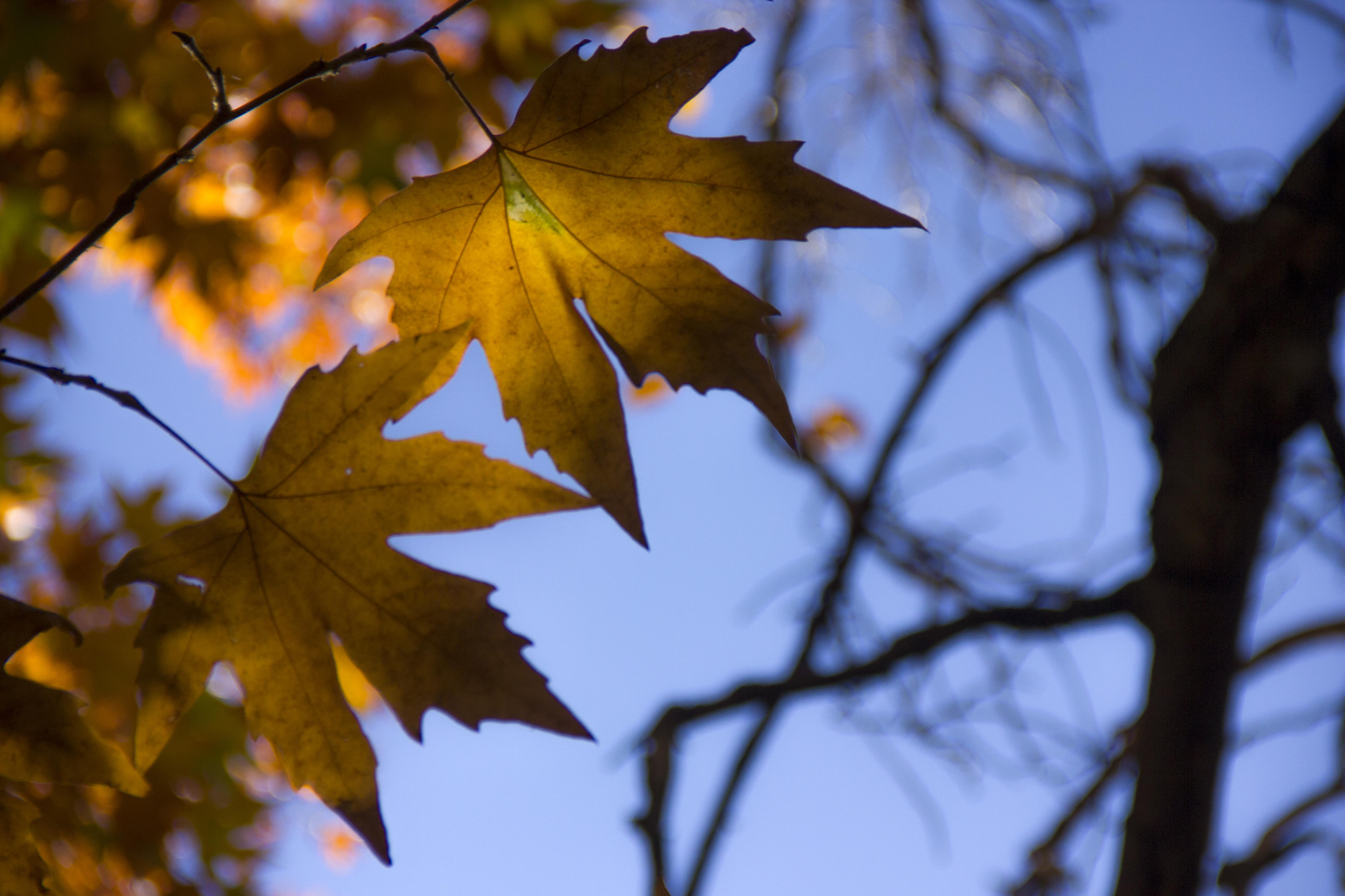 برگ زرد-پاییز-yellow leaves-falling leaves 07.jpg