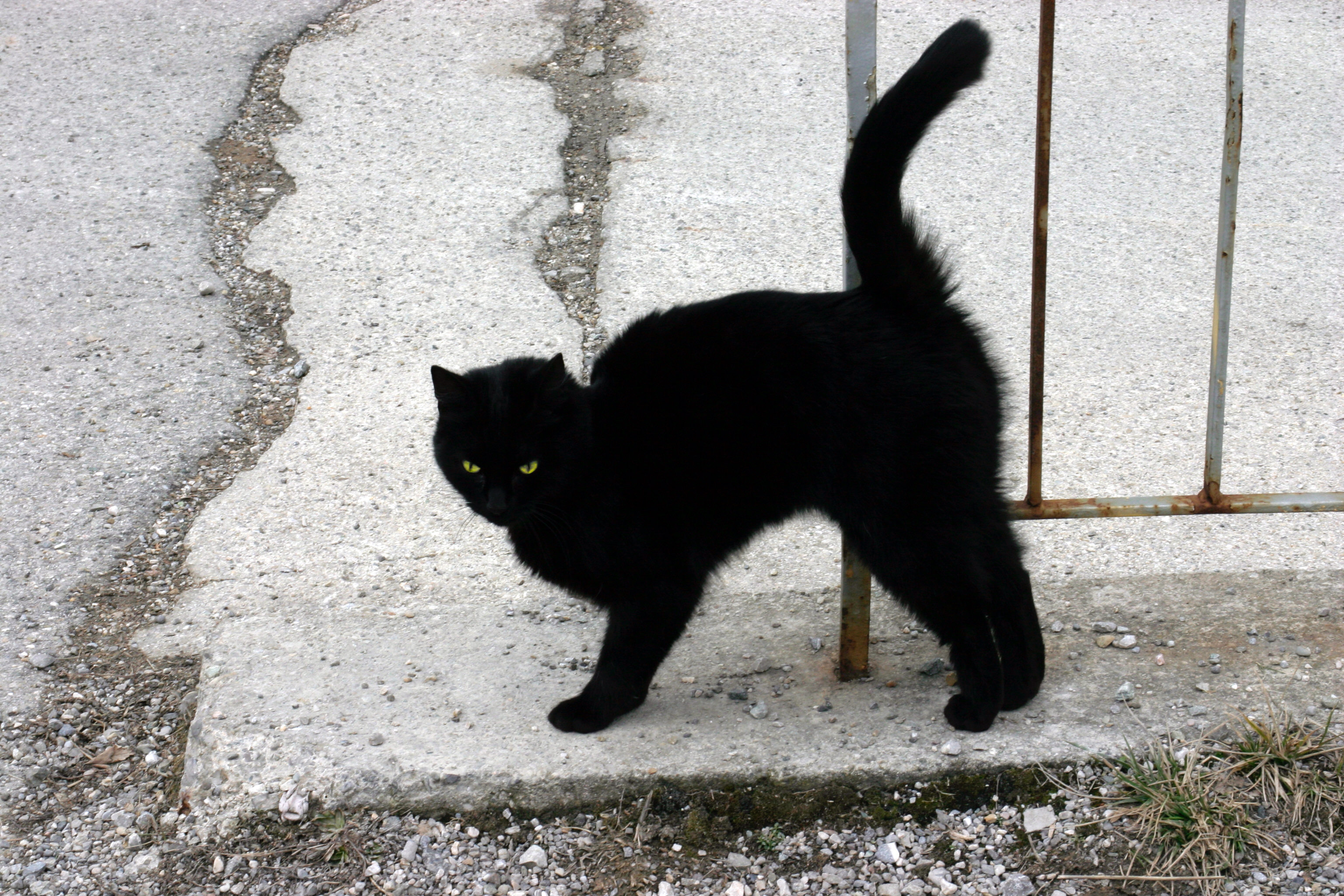 File:A Black Cat.jpg - Wikimedia Commons