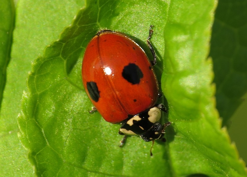 FileAdalia Bipunctata Coccinellidae 2 Spot Ladybird