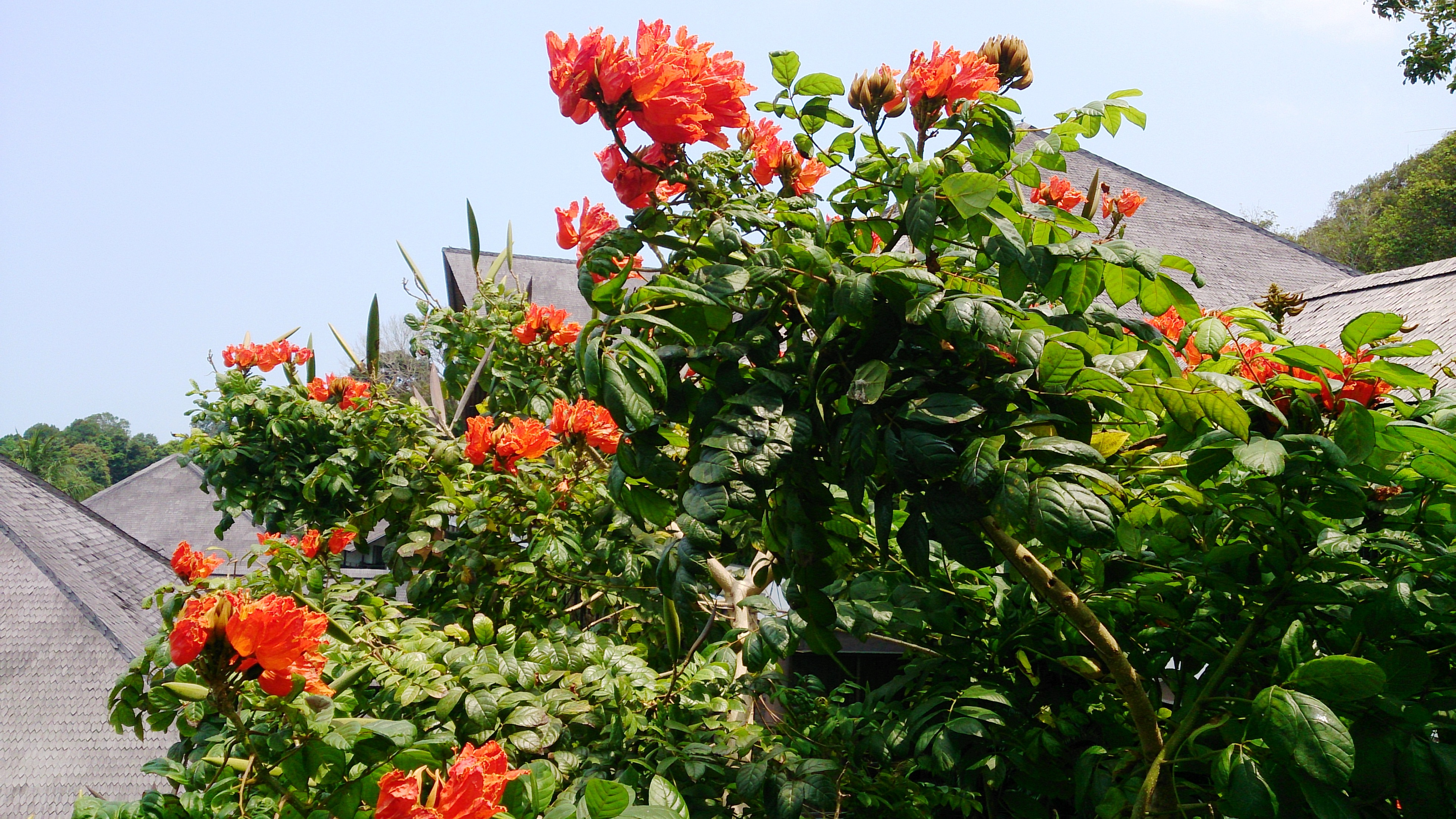 African Tulip Tree. Photo credit: Mokkie/Wikimedia Commons [CC Attribution-Share Alike 3.0 Unported license].