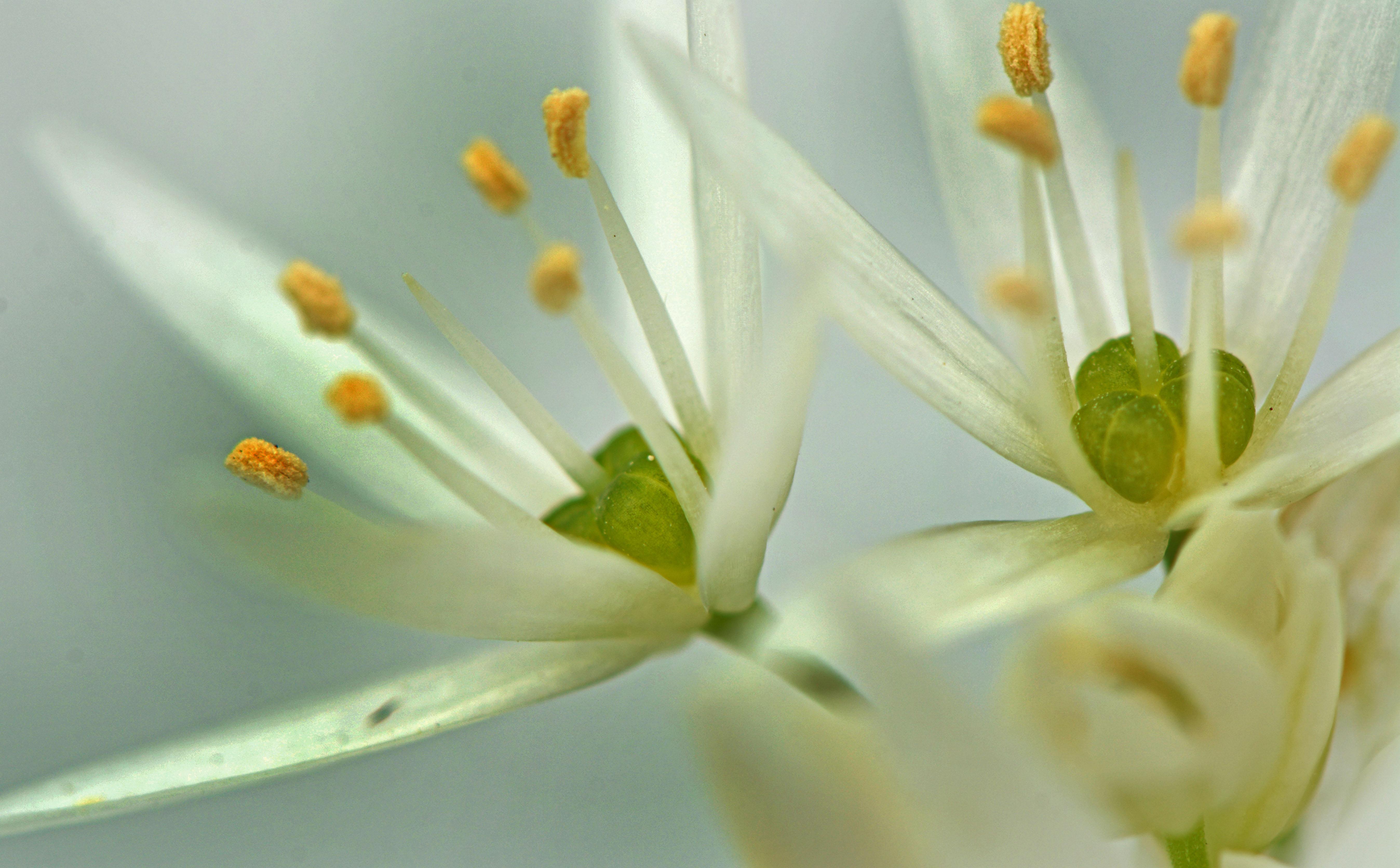 File Ail Des Ours Allium Ursinum Fleur 6 Mai 2016 Lamiot 05 Jpg