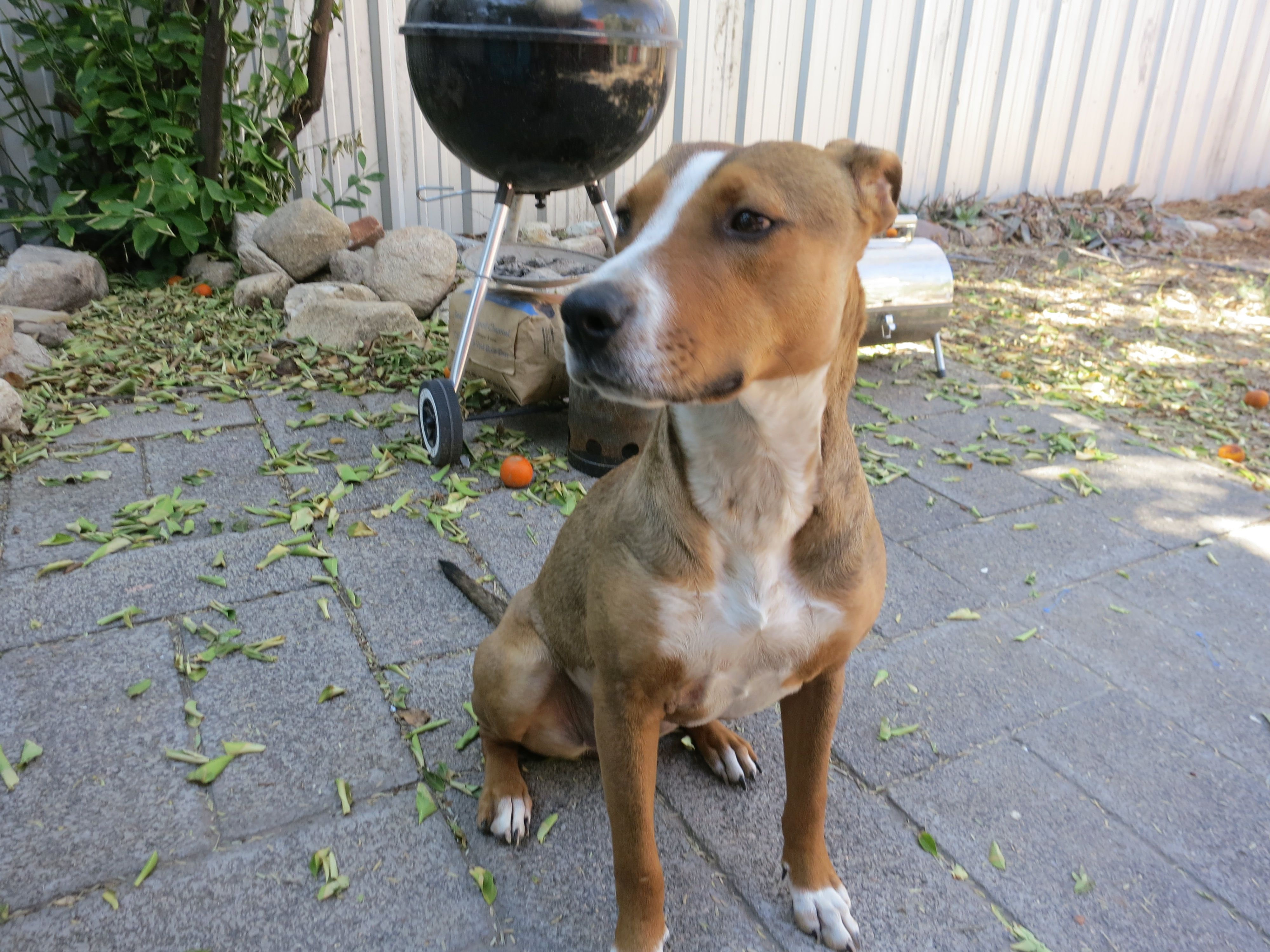 pit bull mix with terrier file american pitbull terrier mix 2013 08 20 14 56 jpg 4836