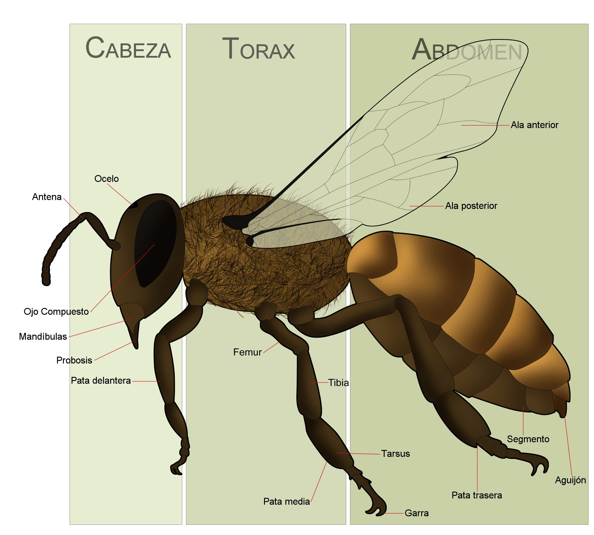 labeled diagram of the ulna argentina aun a salvo del colapso mundial de las abejas honey bee labeled diagram #11