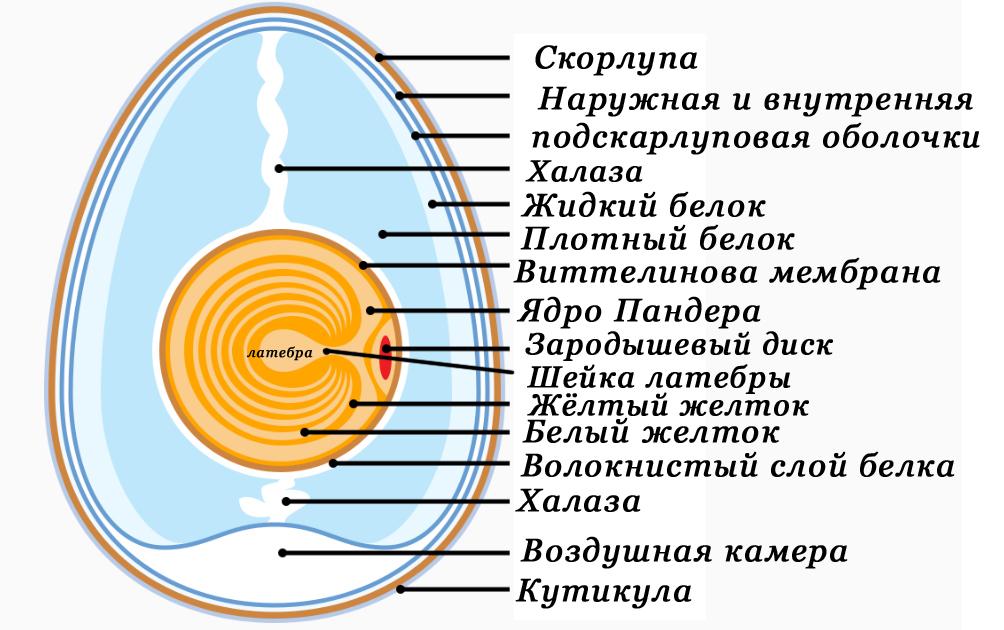 File:Anatomy of egg RUS.jpg - Wikimedia Commons