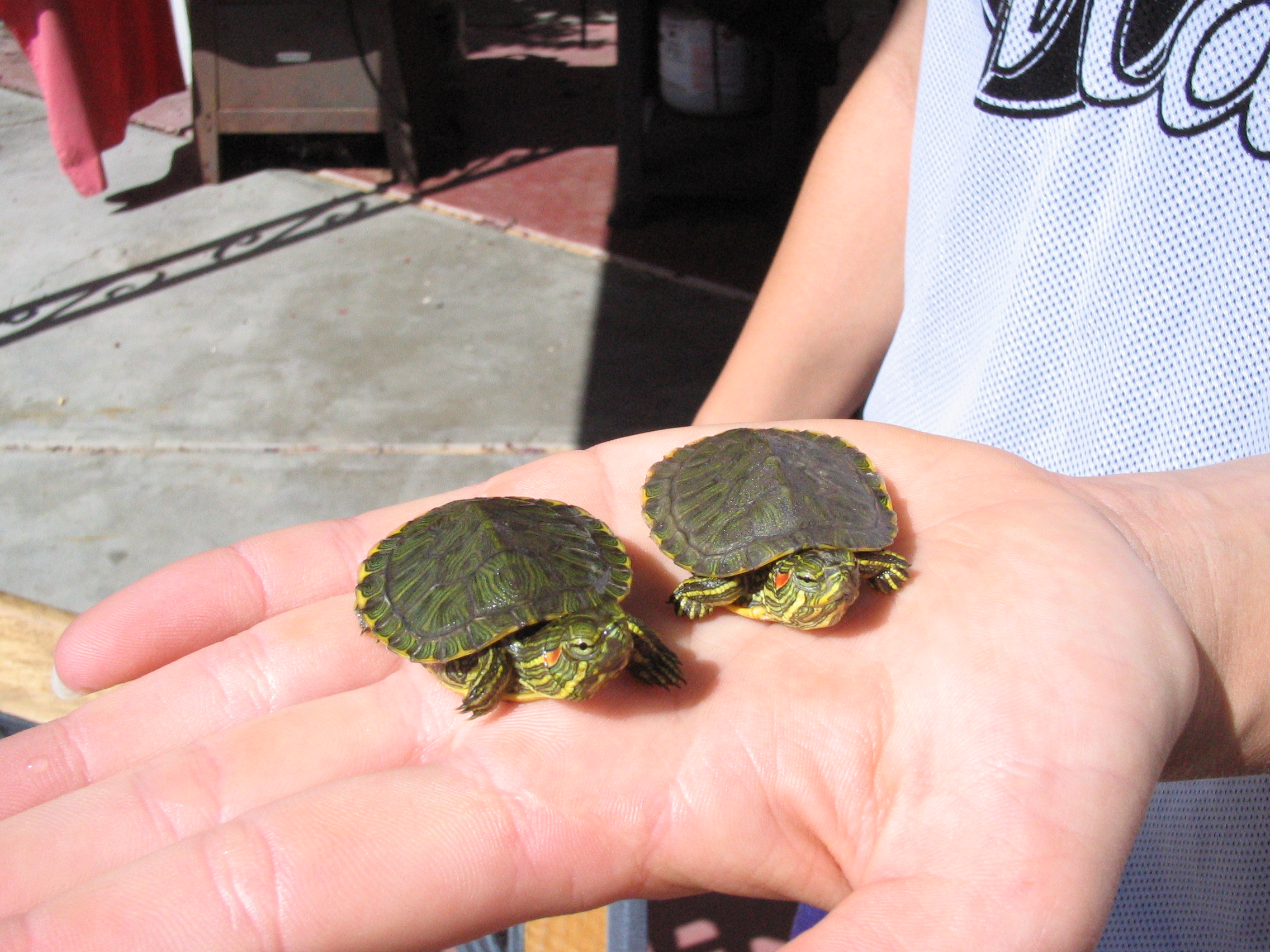 File Baby Red Eared Sliders Jpg Wikimedia Commons,Bleeding Heart Flower Tattoo Meaning