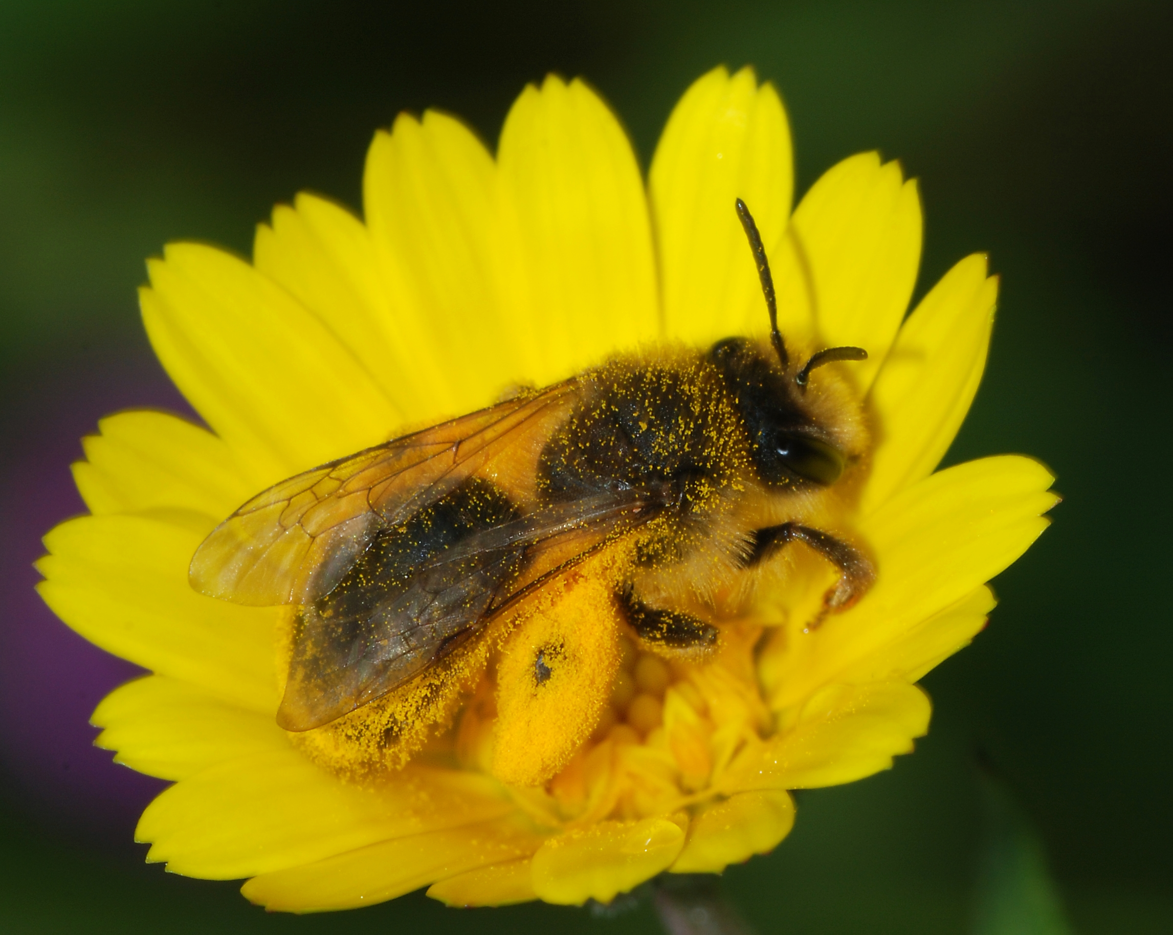 Andrena - Wikipedia