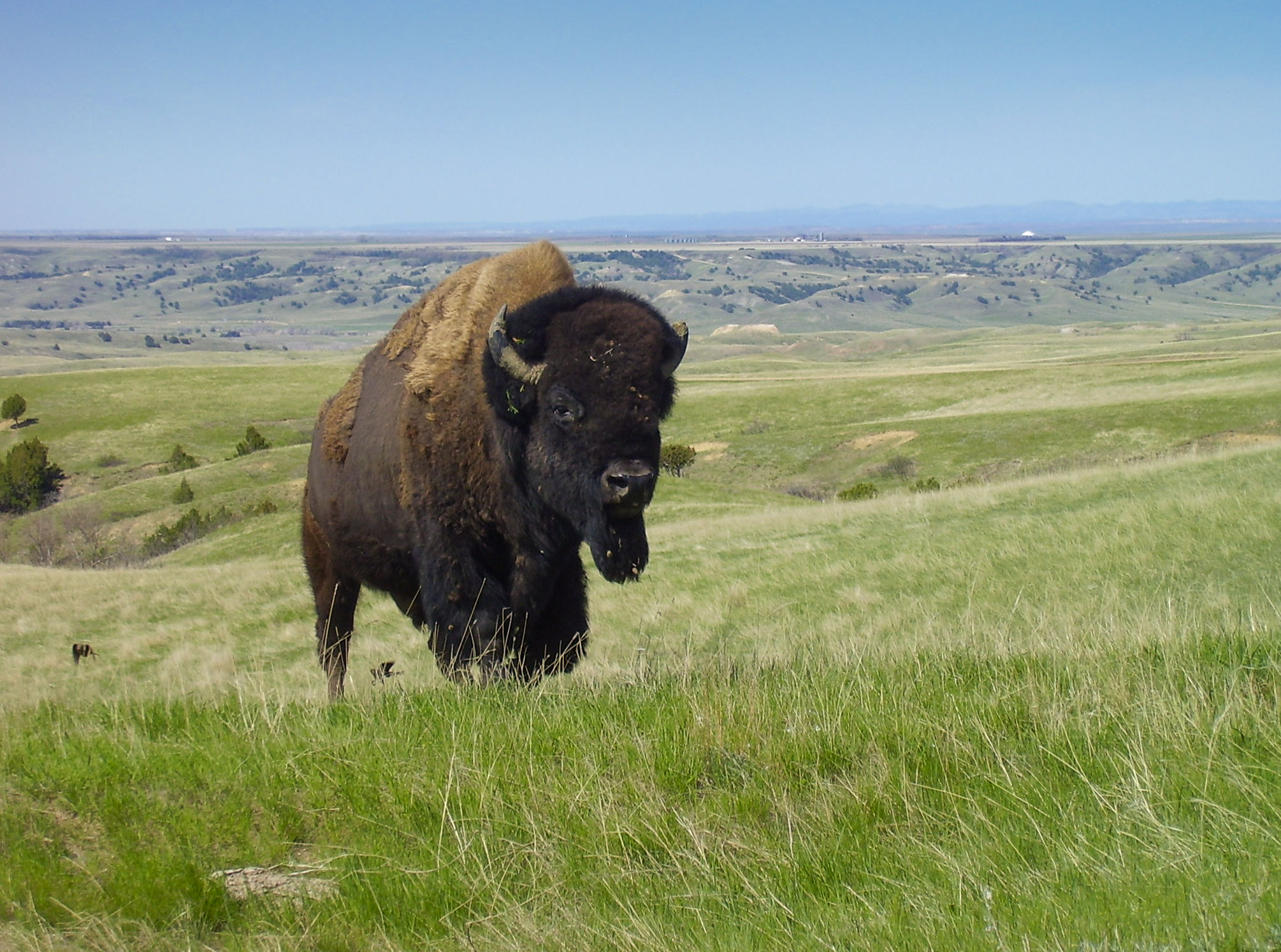 http://upload.wikimedia.org/wikipedia/commons/7/77/Bison_Badlands_South_Dakota.jpg