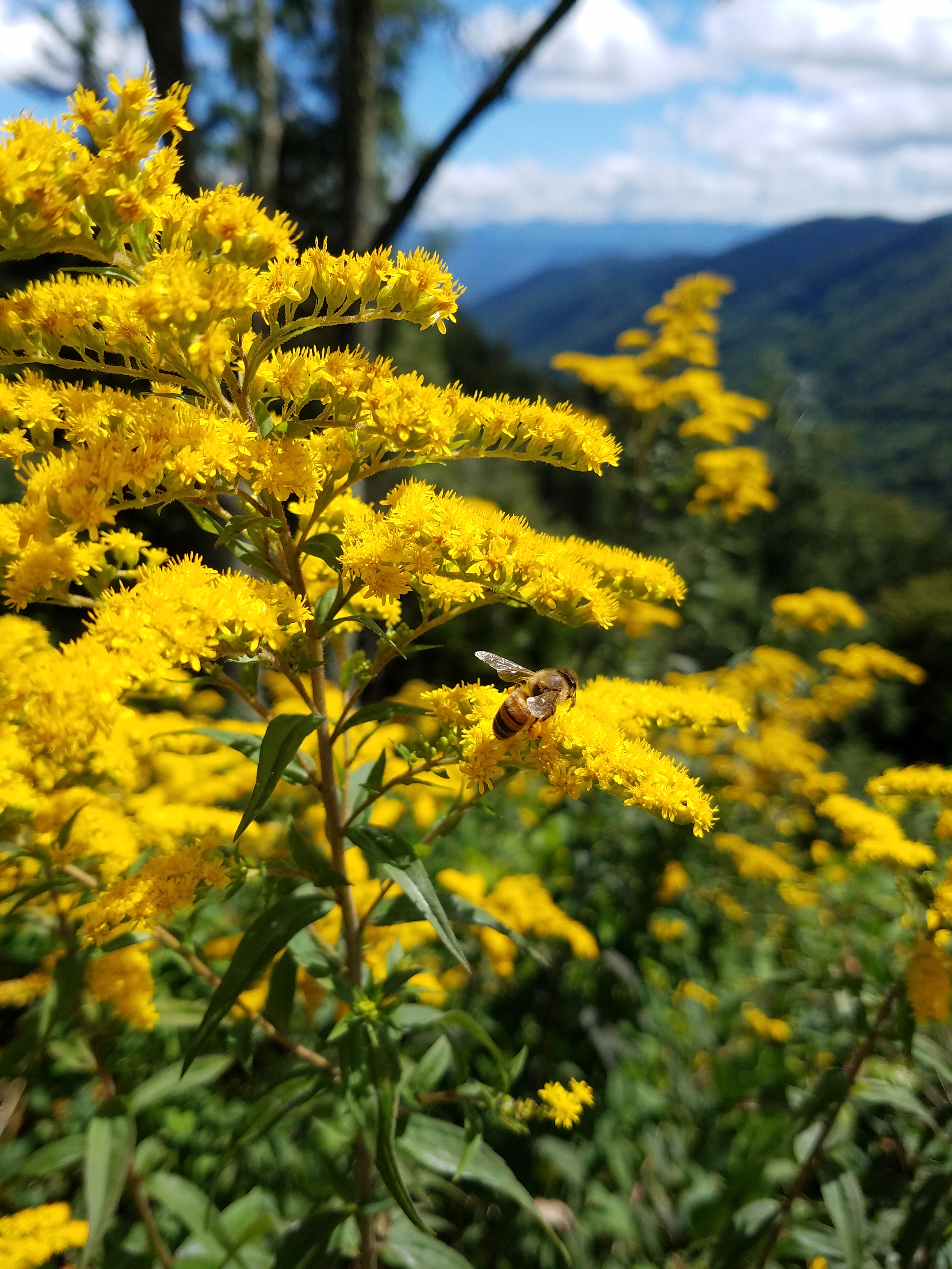 Fileblue Ridge Parkway Mountains Yellow Flower Milk Weed With