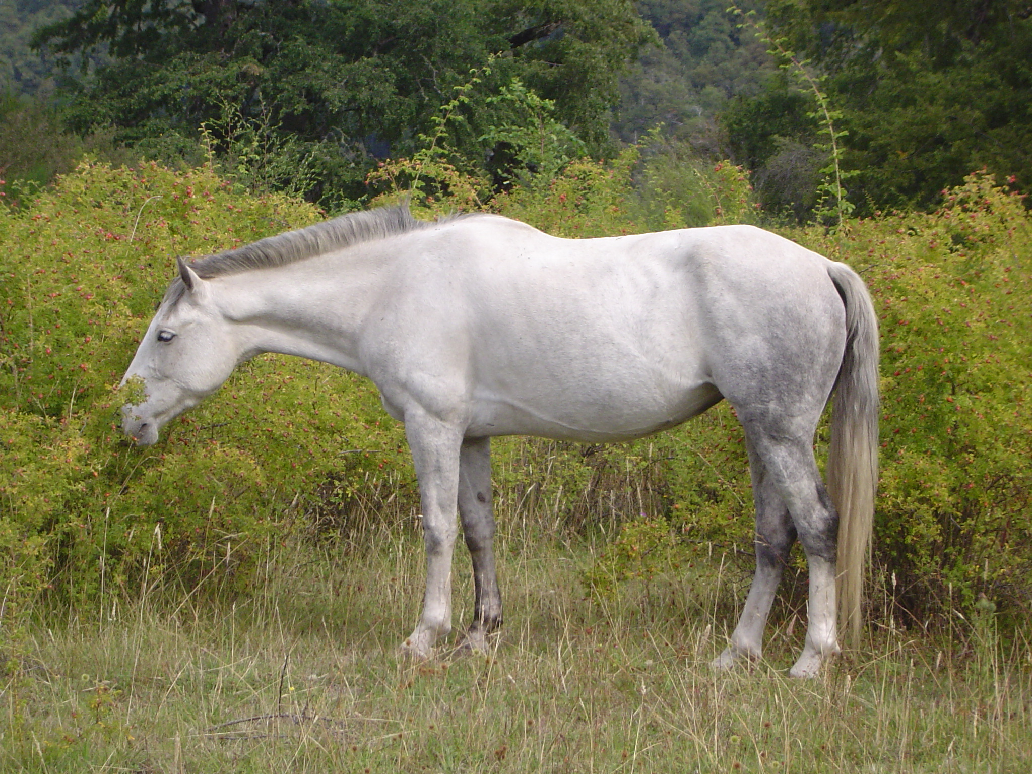 El caballo cimarron Caballo_Cimarrón_PN_Lanín
