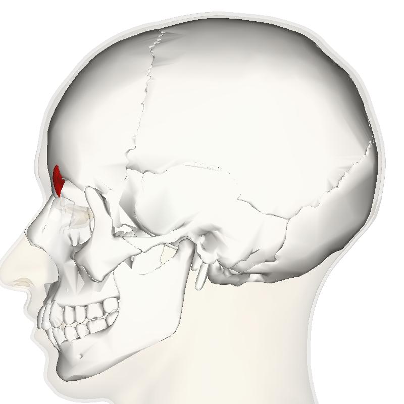 file:corrugator supercilii muscle lateral - wikimedia commons, Human Body