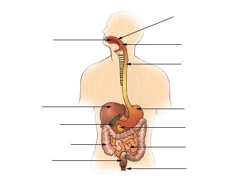File:Diagram of the digestive system-VOID.png