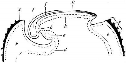 EB1911 Coelom - Fig. 4.—Developing Ovum.jpg