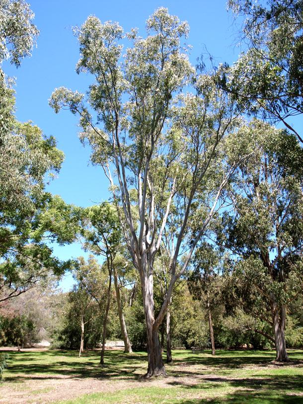 Eucalyptus Amplifolia Wikipedia