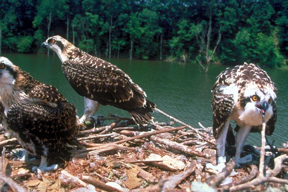 الجارحة الطبيعية والبيئية Fischadler_Nest.jpg