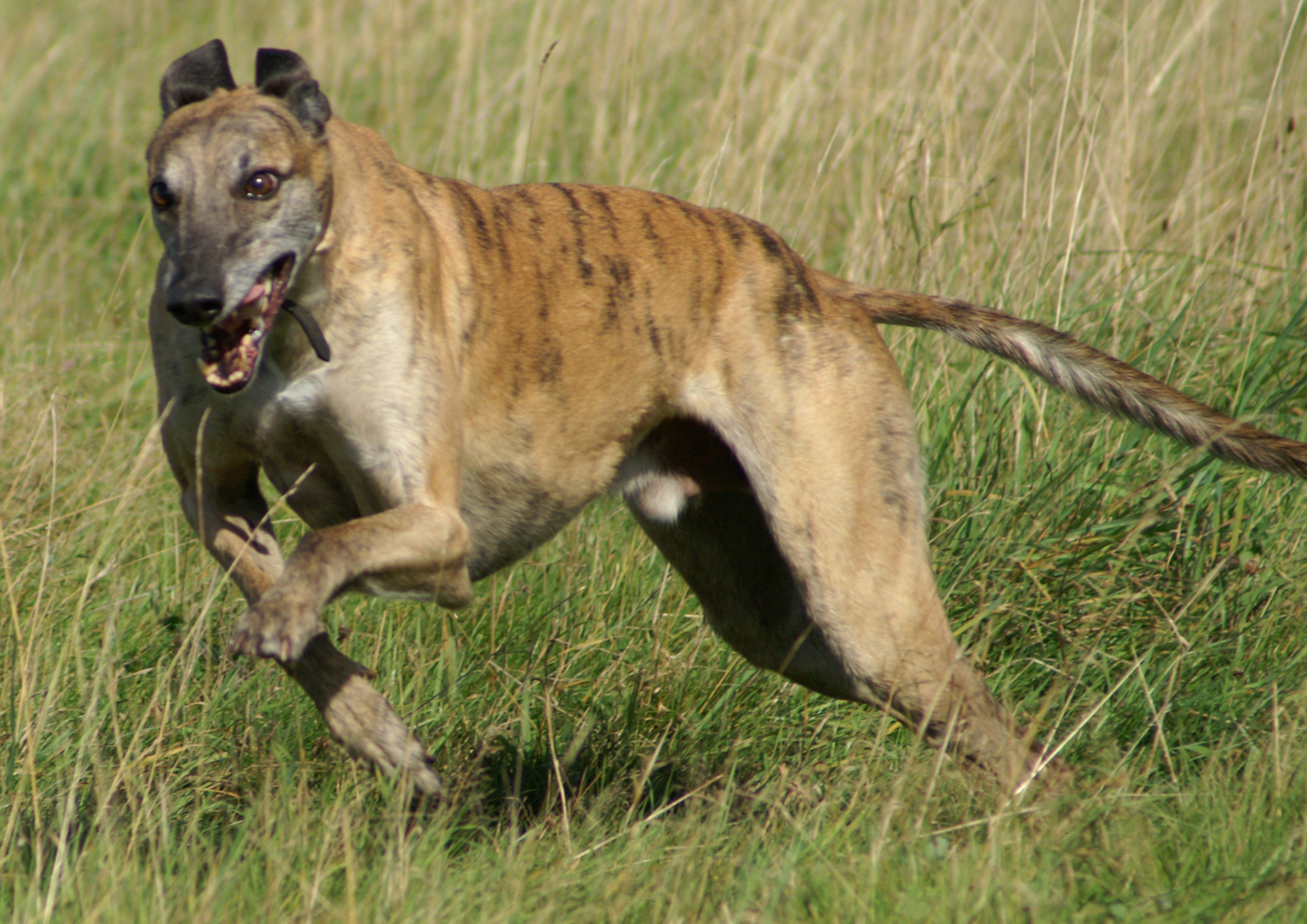 greyhound dog running