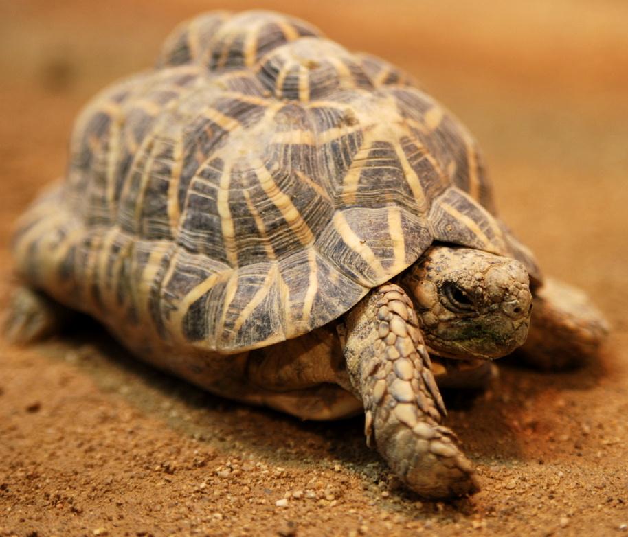 Description indian star tortoise tennoji
