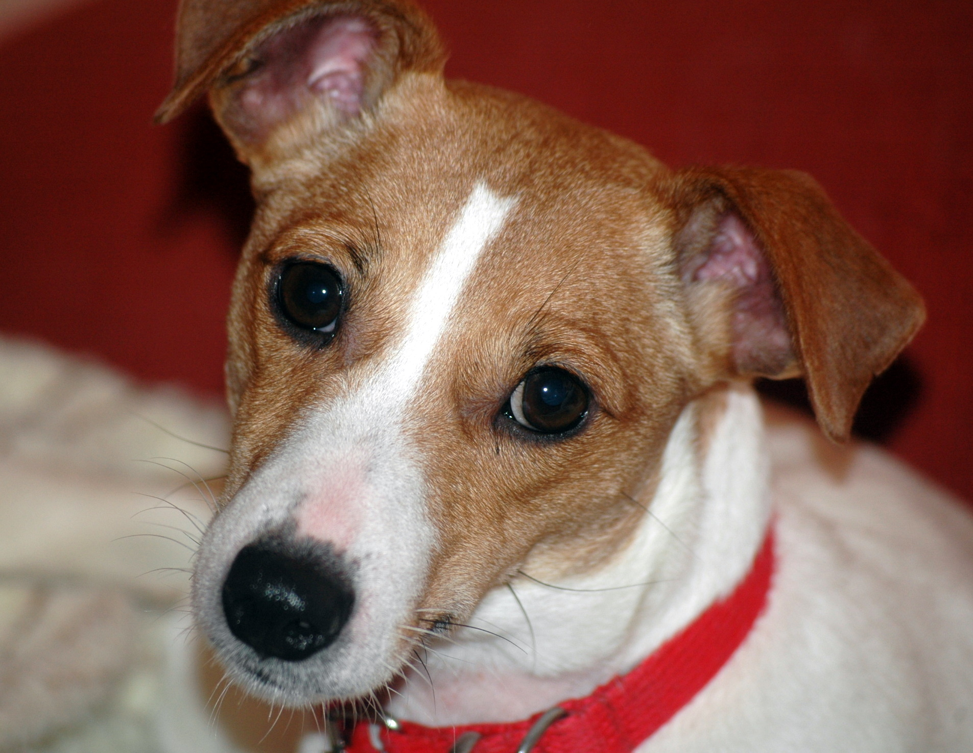 Jack Russell Terrier Demi