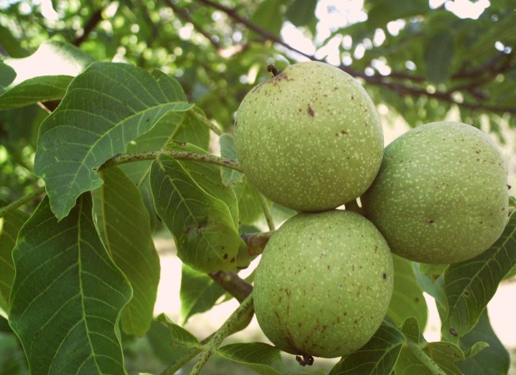 File juglans wikimedia commons for Pianta di noci
