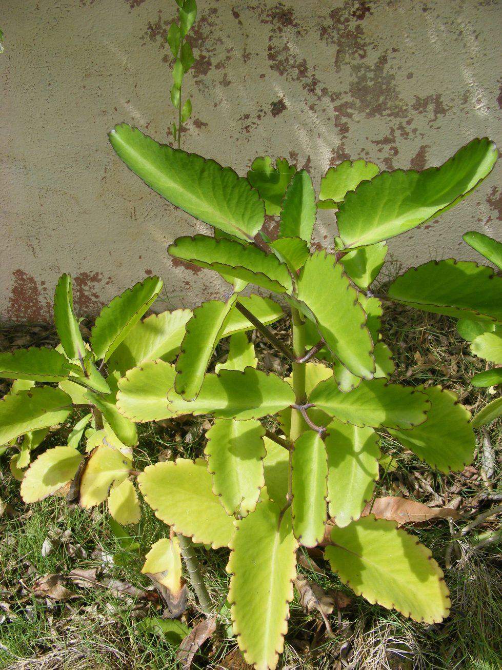 File:Kalanchoe pinnata Bryophyllum Thane Maharashtra DSCF7907 (1).JPG ... Kalanchoe Pinnata