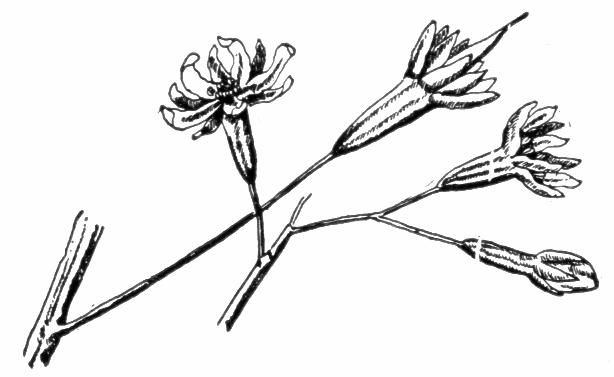 Coffee Bean Tree Drawing Flowers