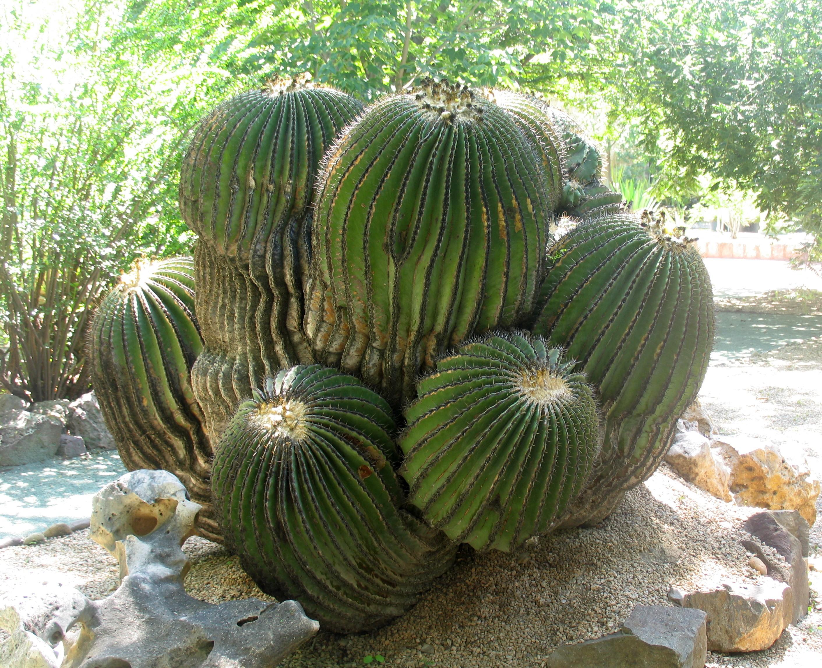 File la gran biznaga echinocactus platyacanthus del for Jardin etnobotanico oaxaca