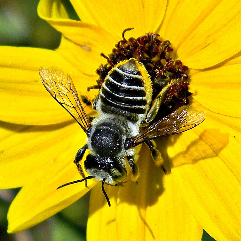 Strange bee - Megachile latimanus - BugGuide.Net