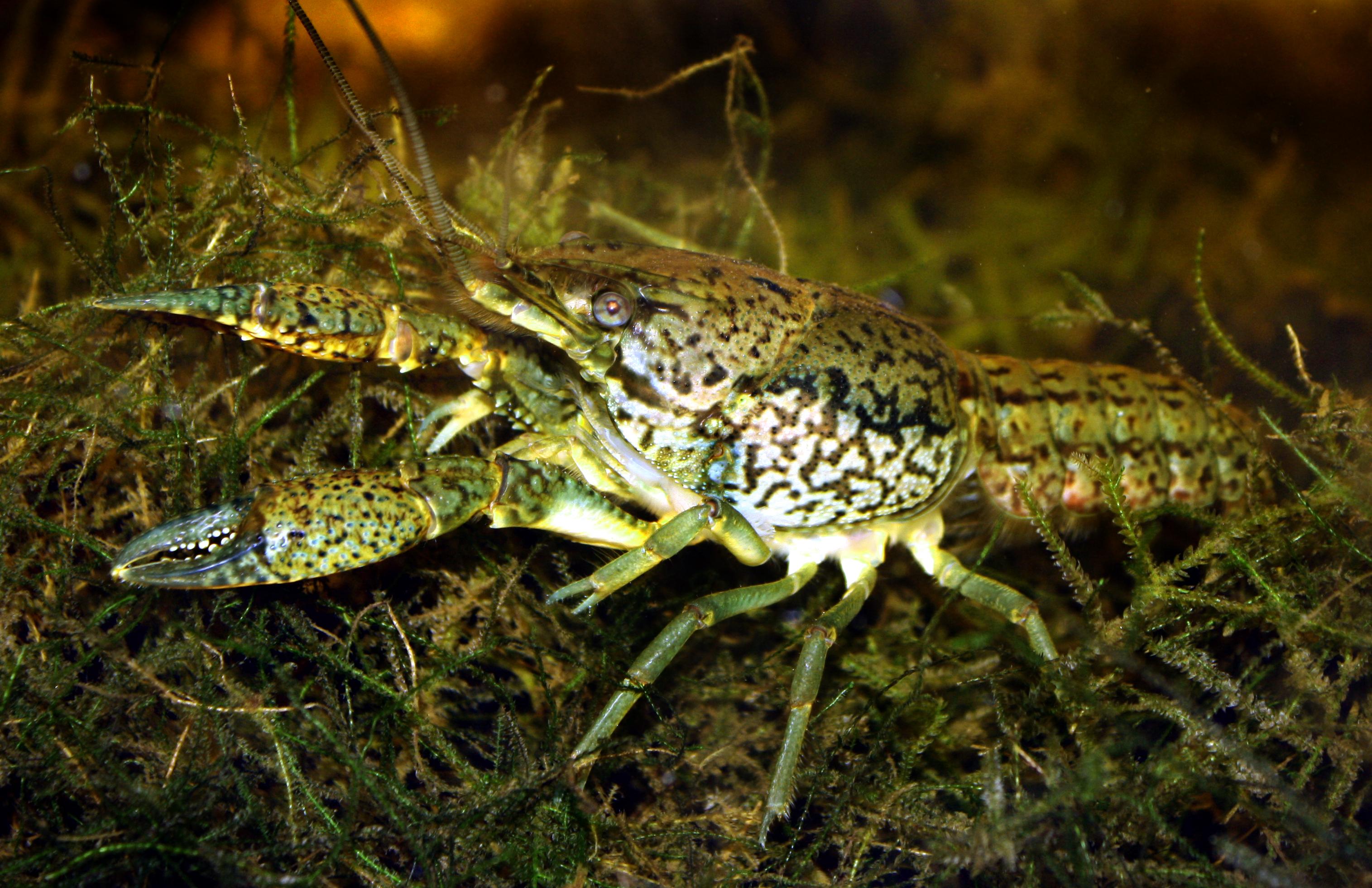 Marmorkrebs Procambarus fallax forma virginalis.JPG