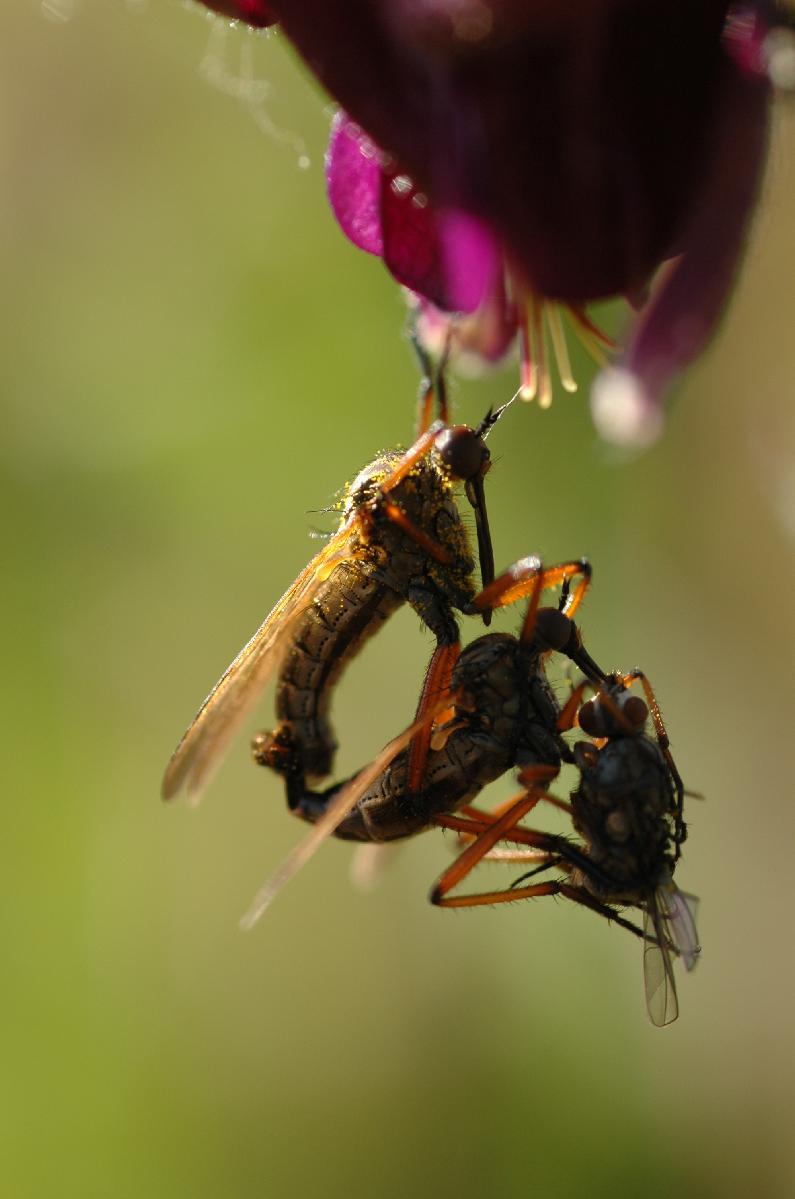 Två dansflugor (med byte) som parar sig.