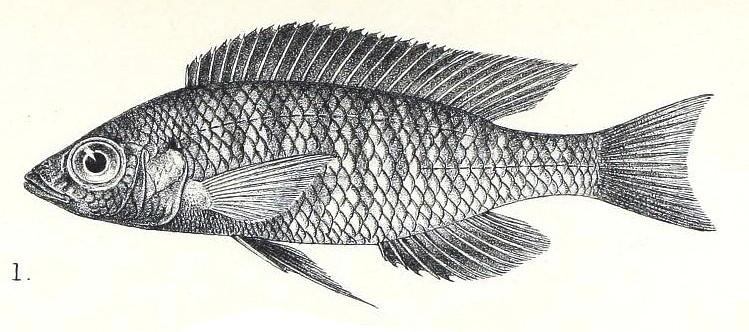 Mchenga eucinostomus