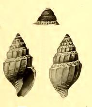 <i>Mioawateria extensaeformis</i>