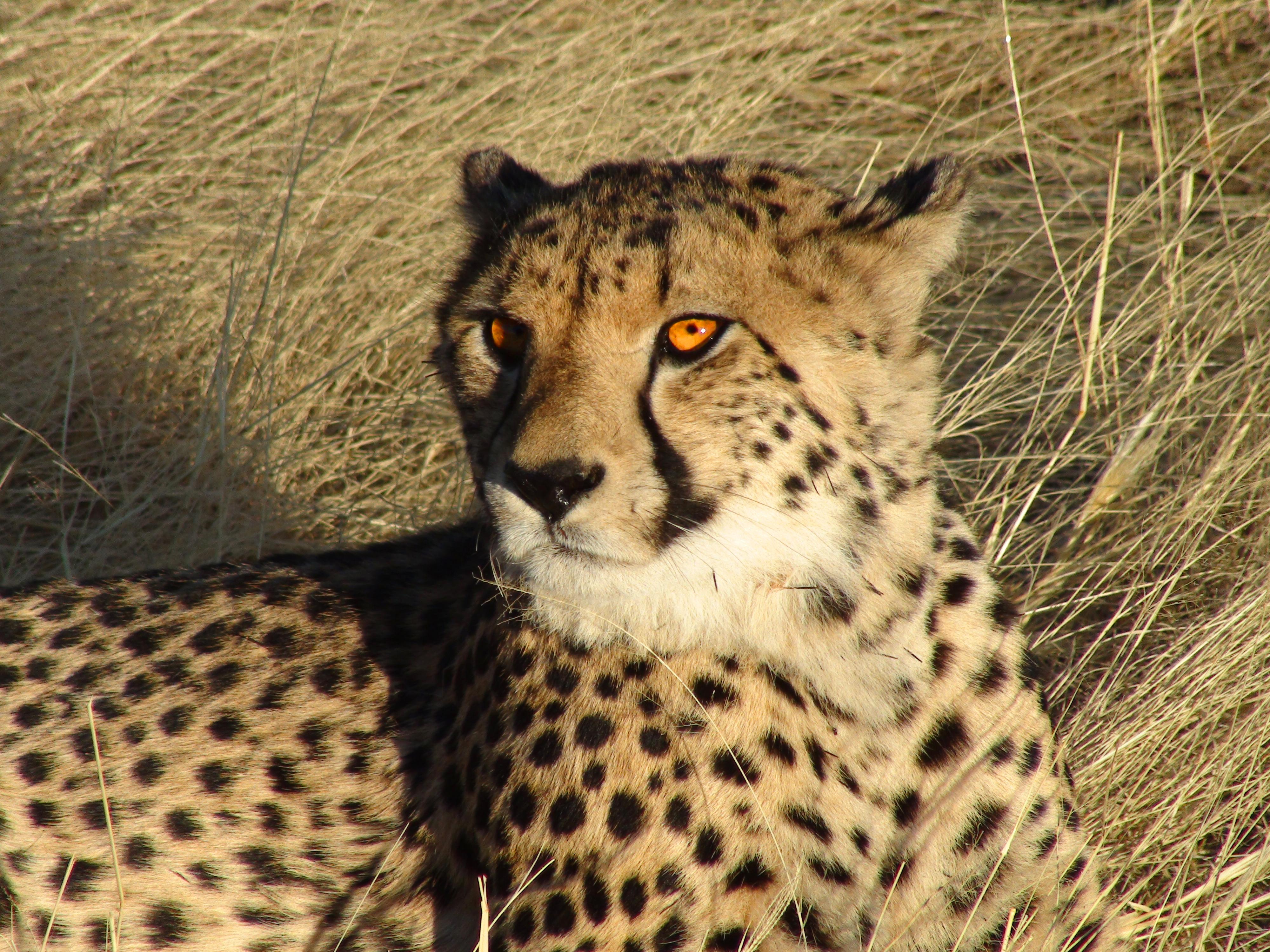 File Namibian Cheetah Jpg Wikimedia Commons