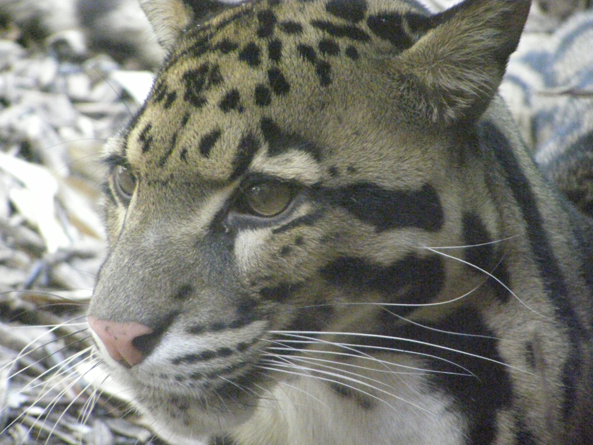Bornean Clouded Leopard Teeth