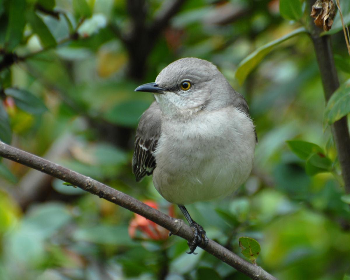 Rhode Island Songbirds