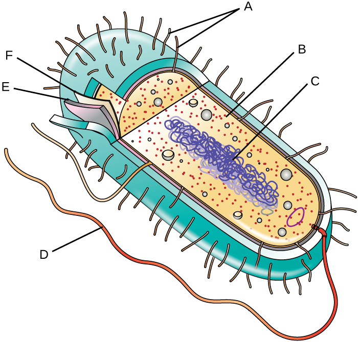 Bacterial cell diagram labeled full wiring diagram database file osc microbio 03 03 partsprok img jpg wikimedia commons rh commons wikimedia org bacterial cell structure diagram eukaryotic plant cell diagram labeled ccuart Image collections
