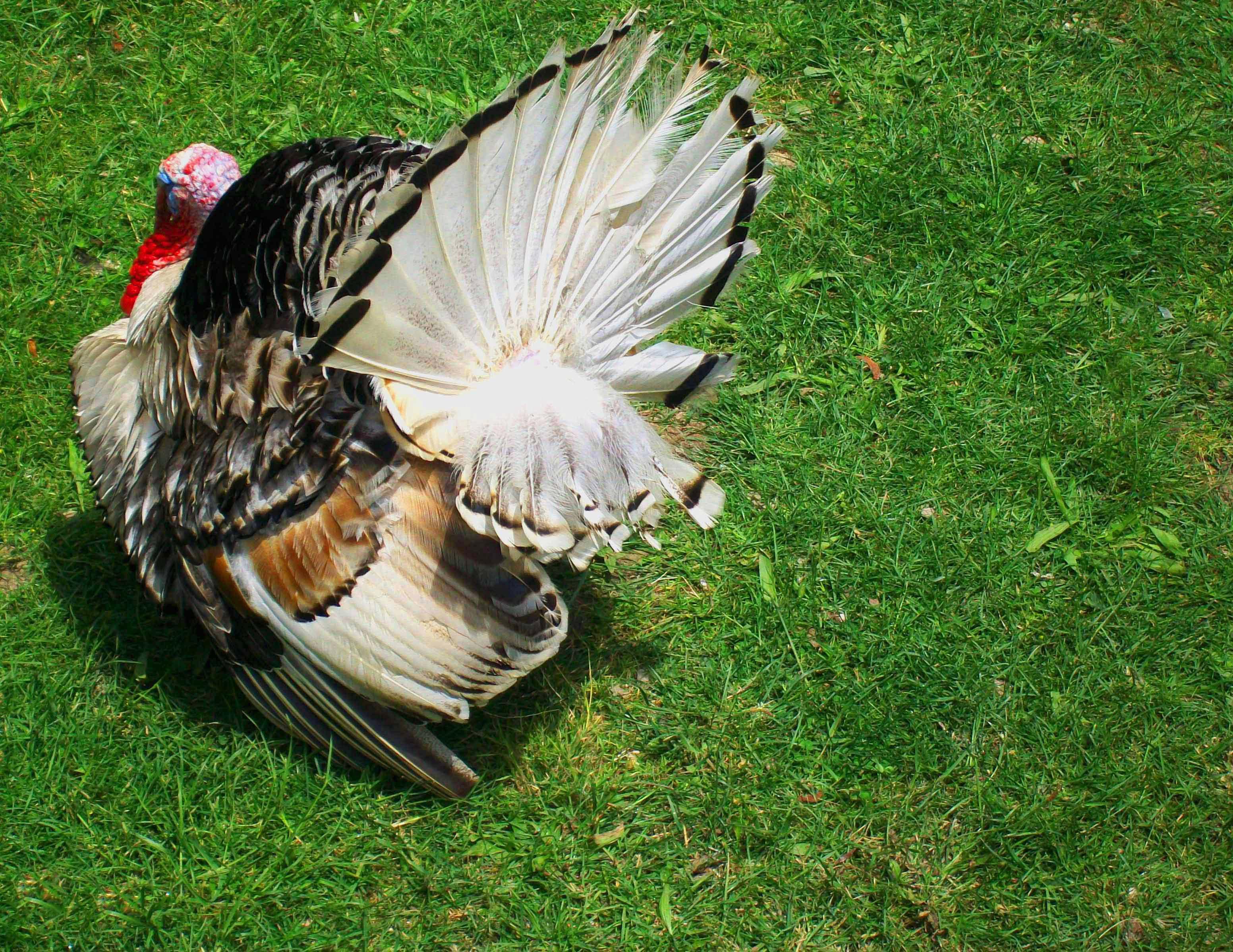 fileocellated turkey peacock turkeyjpg wikimedia commons