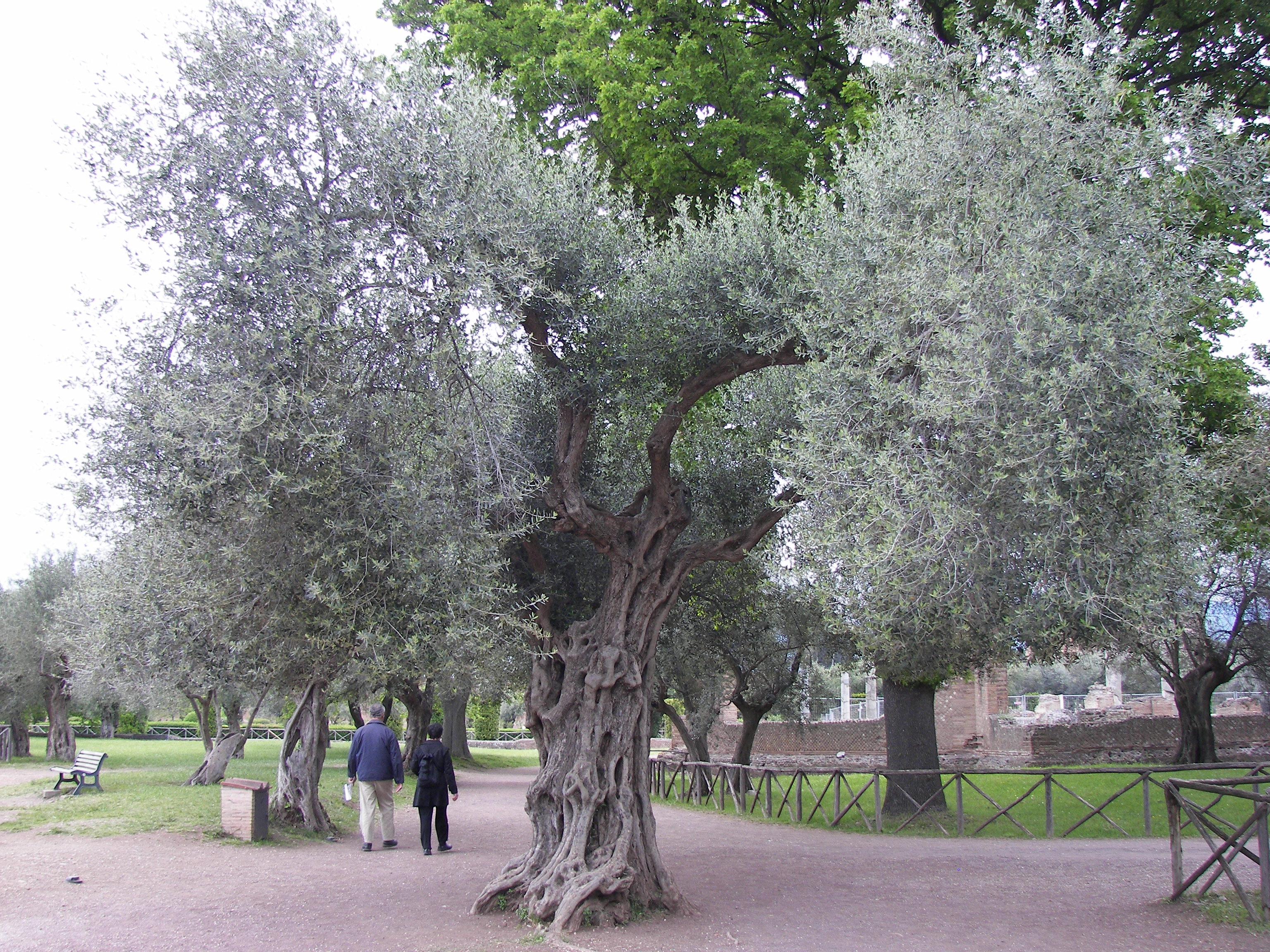 маслина дерево в россии