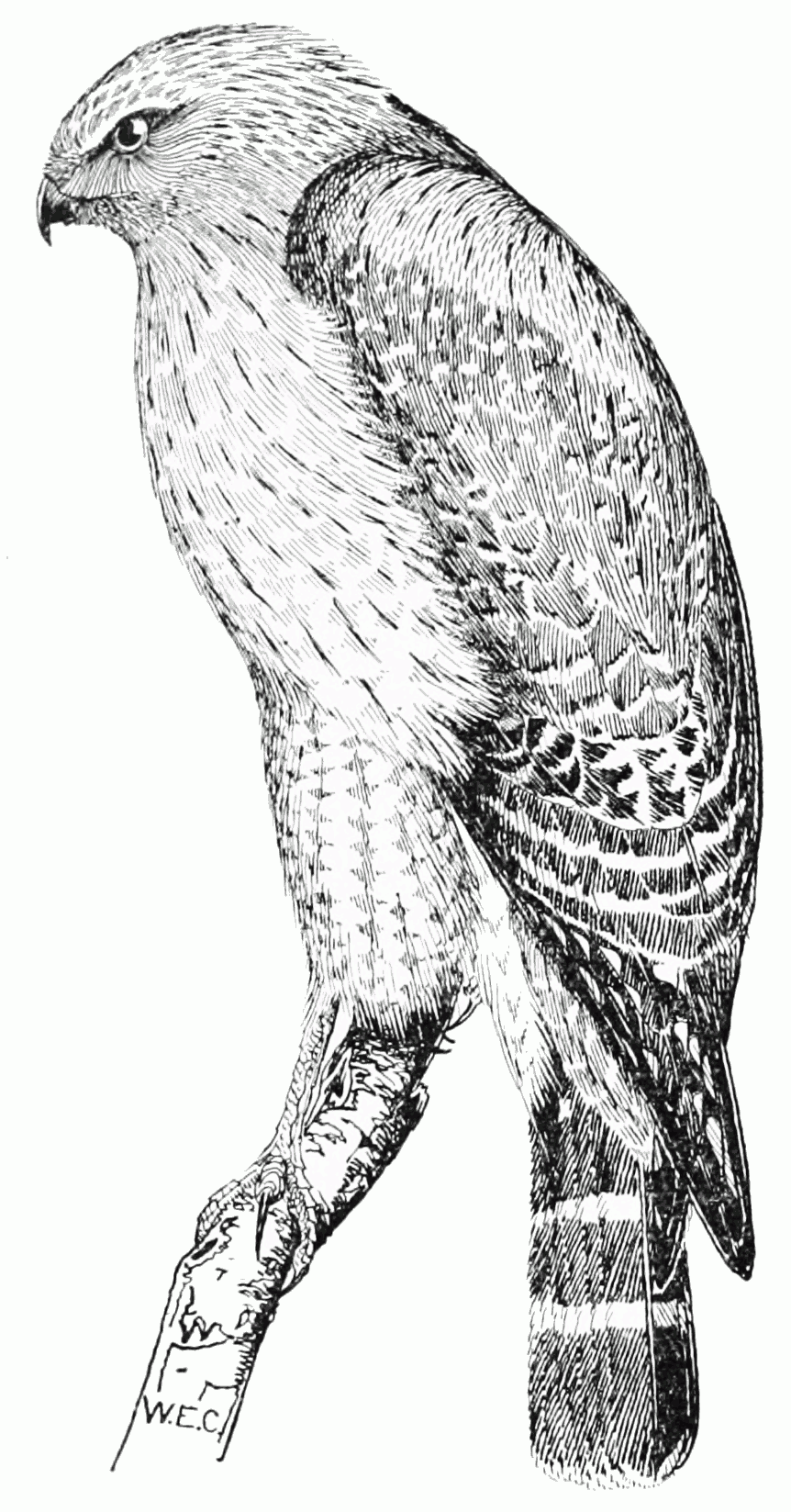 Image Result For Coloring Pages Hawk