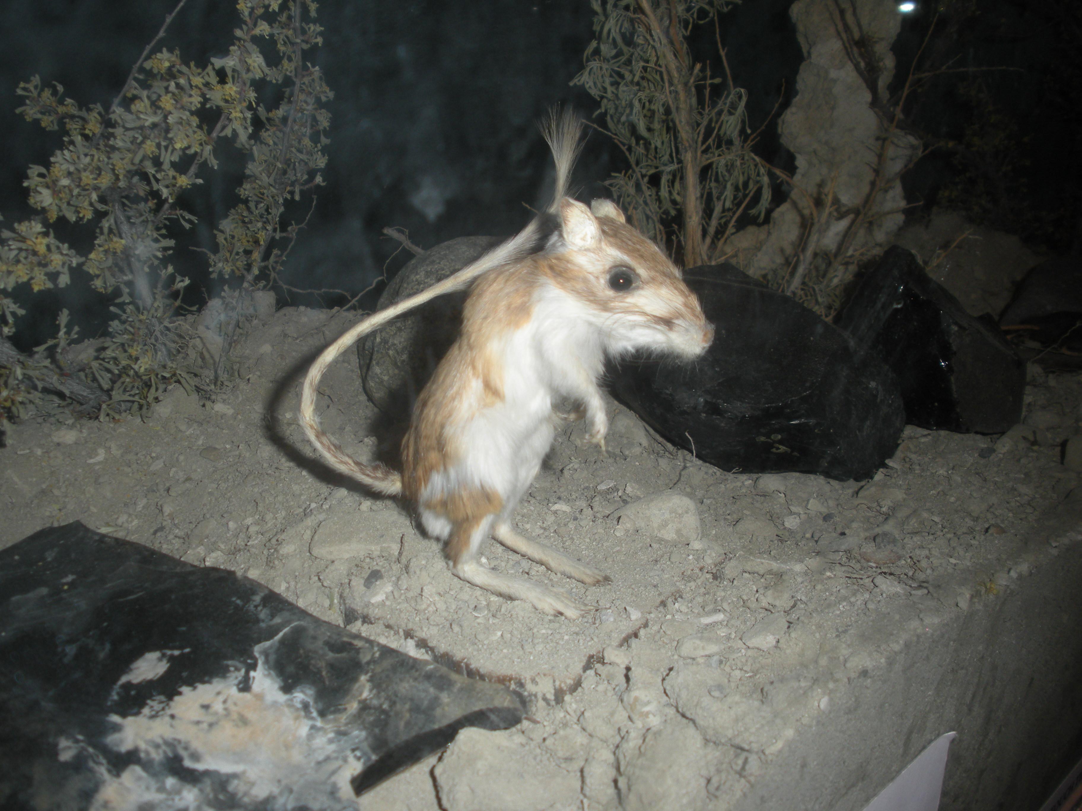 Panamint Kangaroo Rat Wikipedia