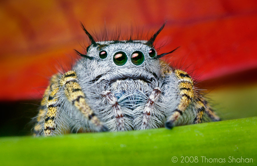 Cute jumping spider - photo#23
