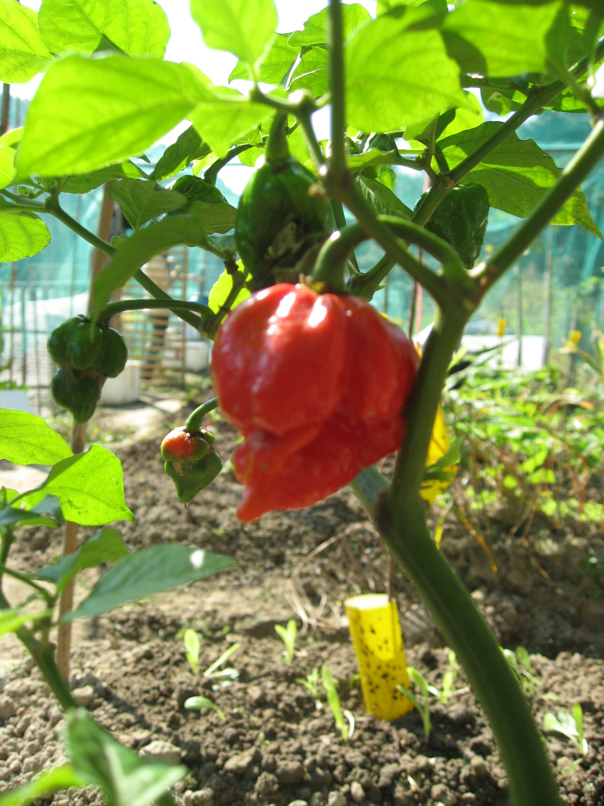 Image result for trinidad moruga scorpion