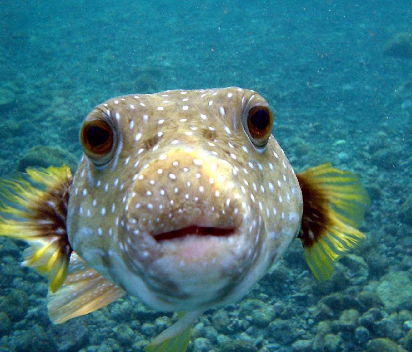 Description Puffer Fish DSC01257.JPG