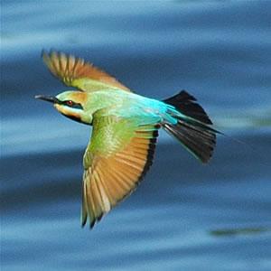 File:Rainbowbeeeater.jpg
