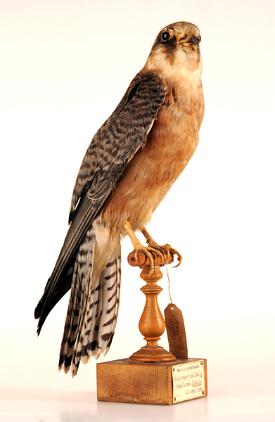 Early Collection Used Lifelike Mounts Like This Red Footed Falcon