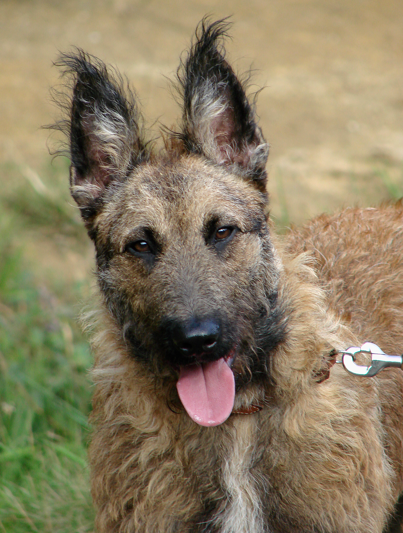 Belgian Shepherd Laekenois Rescue Dogs