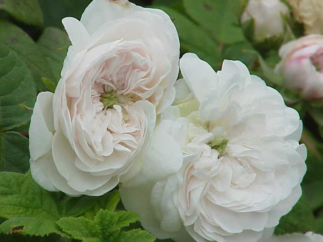 Rosa damascena2