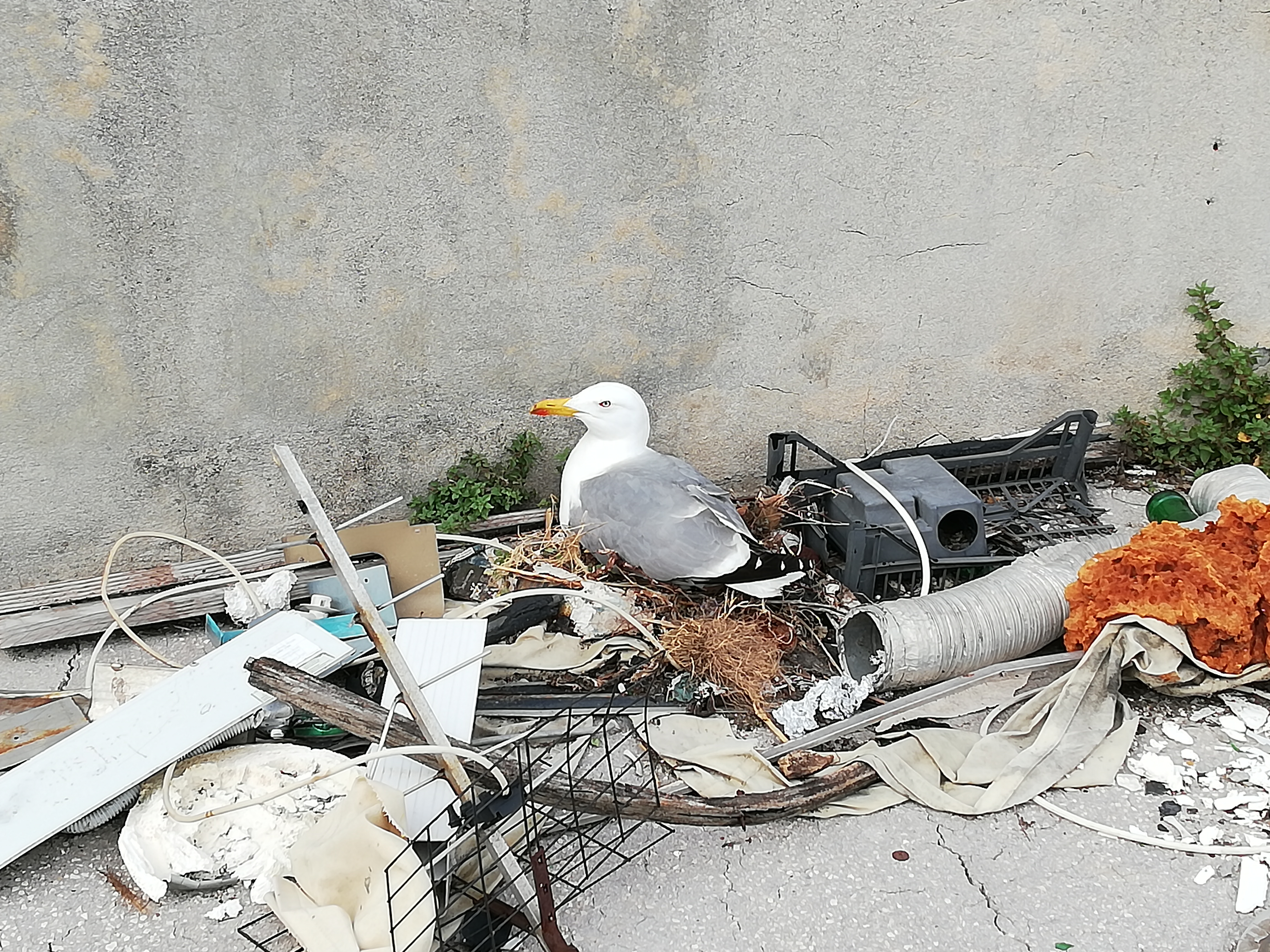 File:Seagull using rubbish to build a nest - Nice - 2018-05