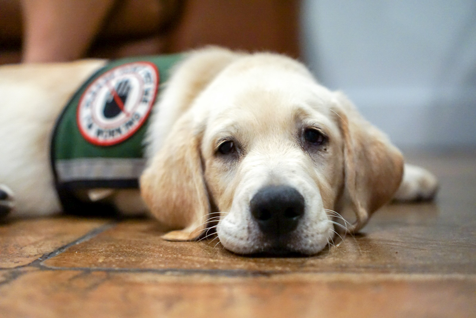 File:Service dog in training resting.jpg - Wikimedia Commons