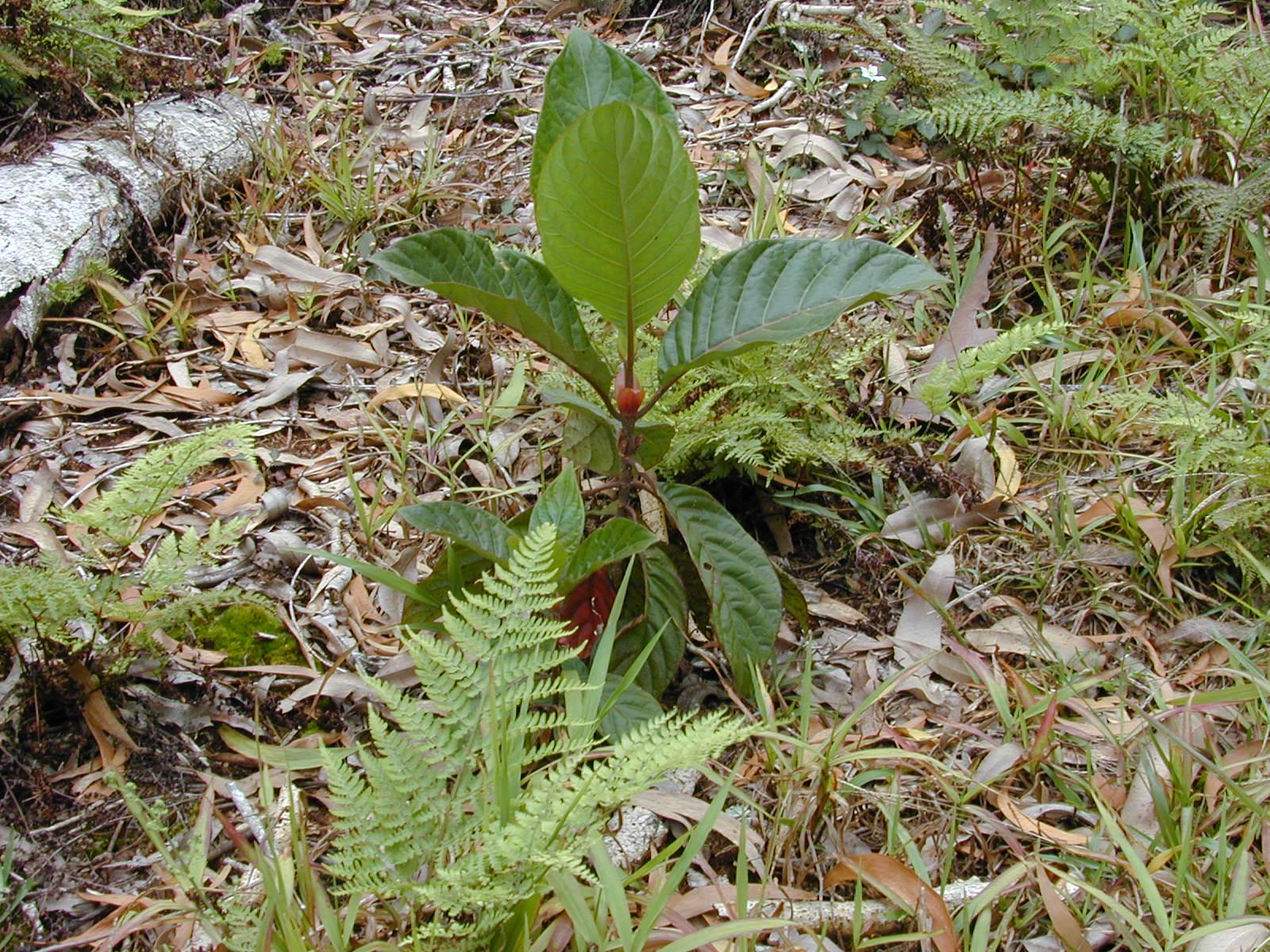 Cinchona Pubescens Uses Cinchona Pubescens Jpg