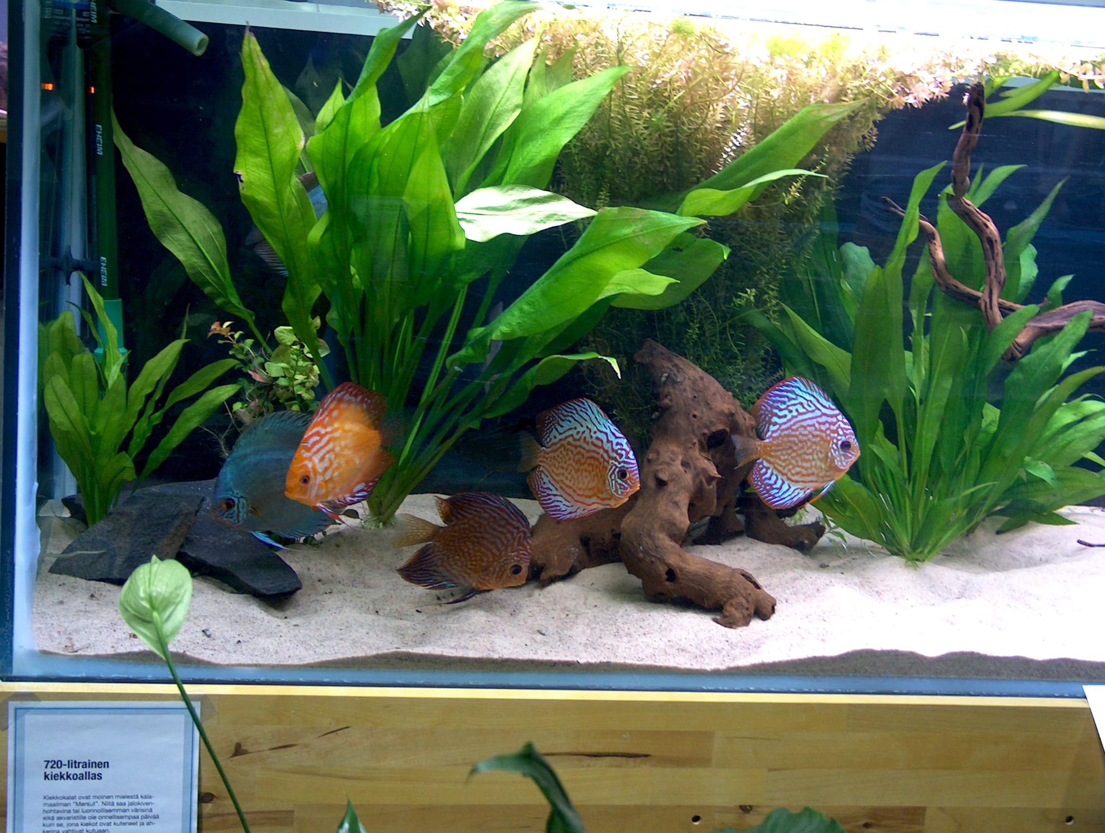 File symphysodon aequifasciatus discus fish jpg for Diskus aquarium
